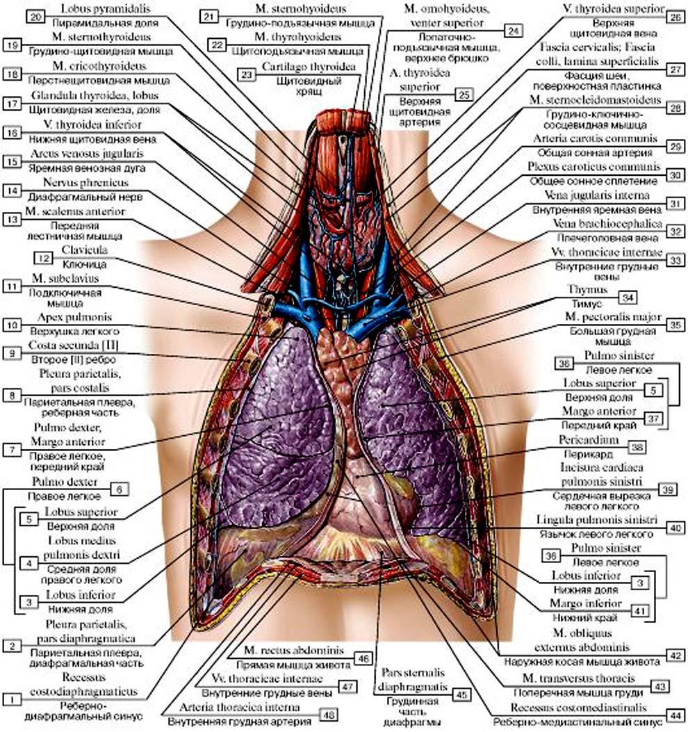 Внутренние органы грудной полости, схема с надписями