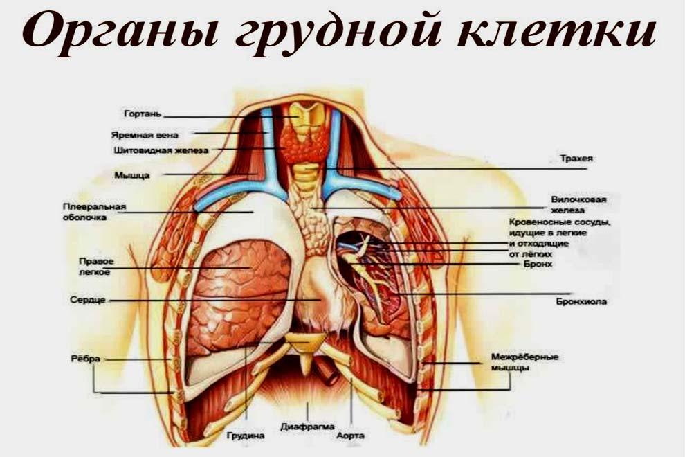 Схема расположения органов грудной клетки с надписями