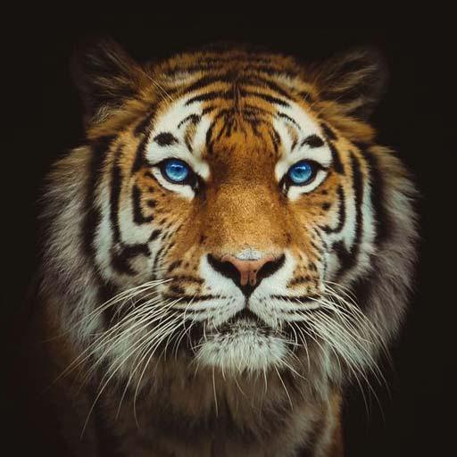 Аватар - морда тигра