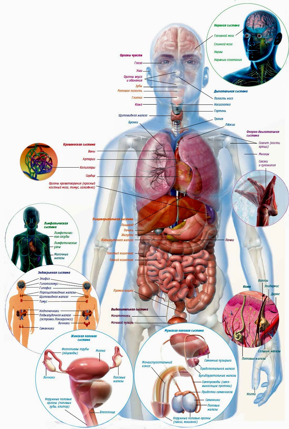 Схема расположения всех внутренних органов у человека