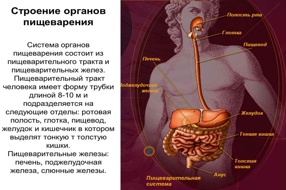 Все органы пищеварительной системы