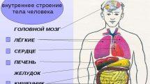 Внутреннее строение тела человека