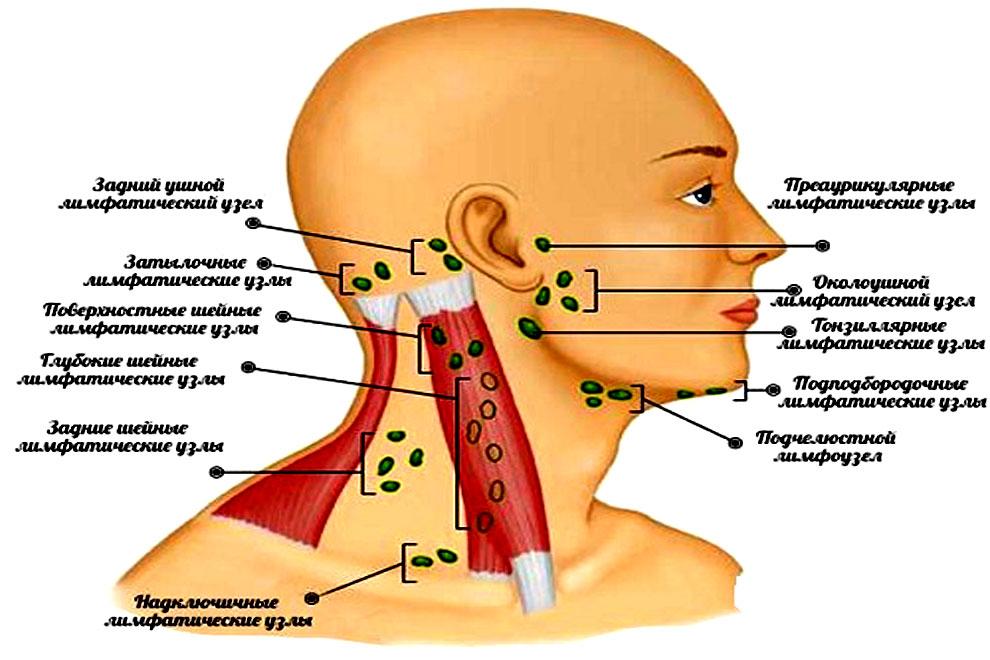 На фото схема расположения шейных лимфатических узлов