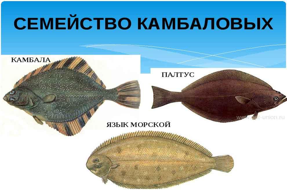 На фото изображены виды камбаловых рыб – камбала, палтус и морской язык