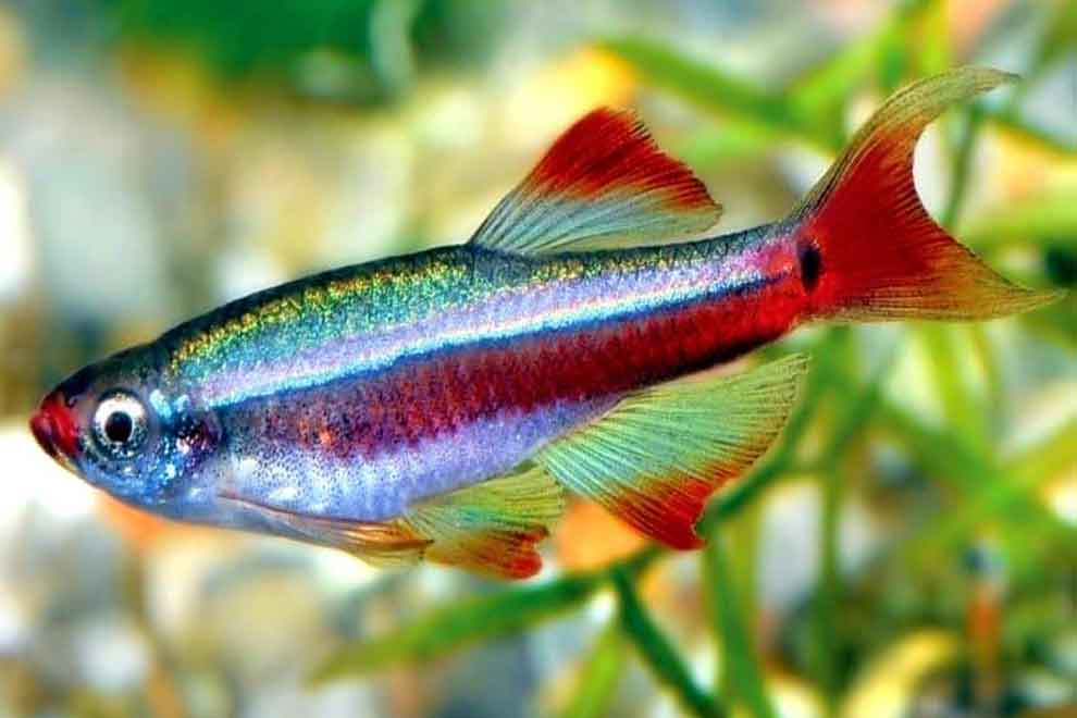 На фото рыба с названием Кардинал