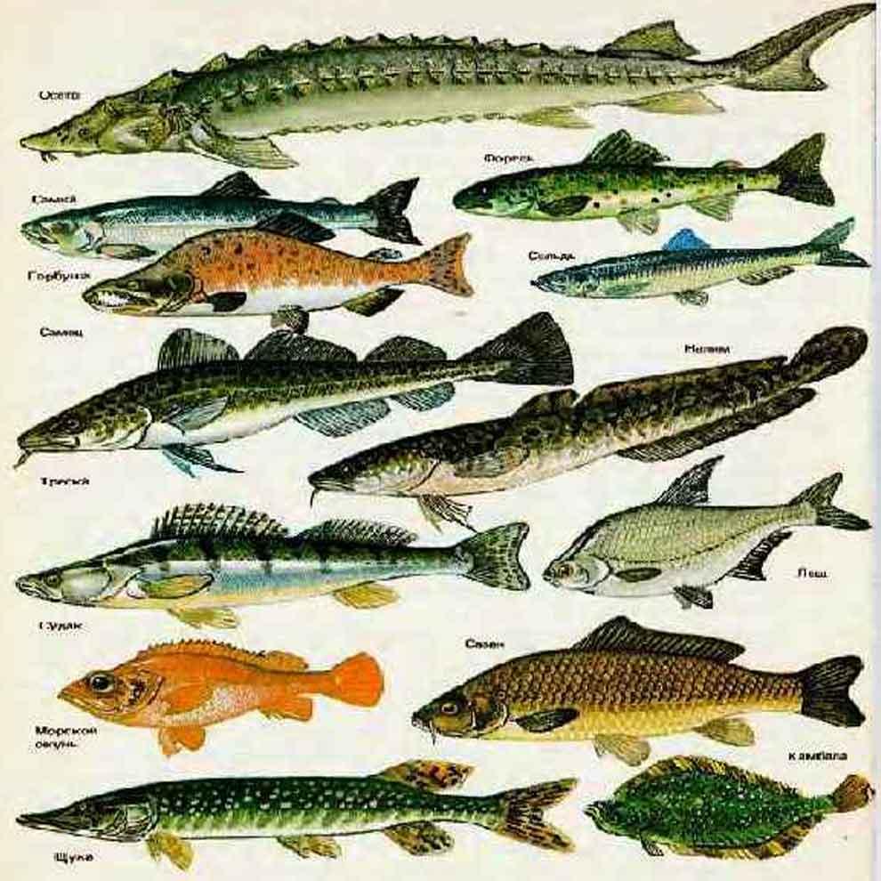 На фото наиболее распространенные из вида лучеперых рыб
