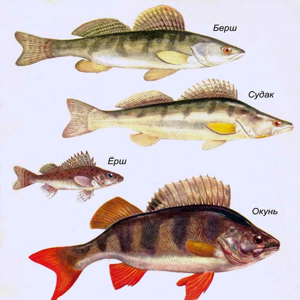 На фото окуневое семейство рыб – берш, судак, ёрш, окунь