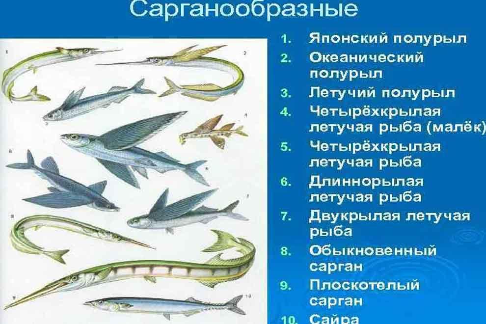 На изображении семейство рыб – саргановые
